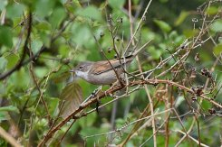 Whitethroat (F)