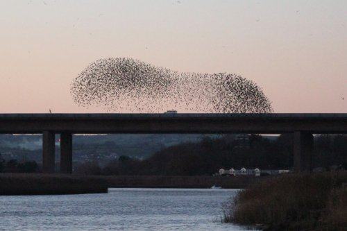 Starlings over the M5