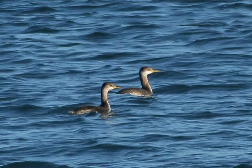 Red necked grebes, Torbay