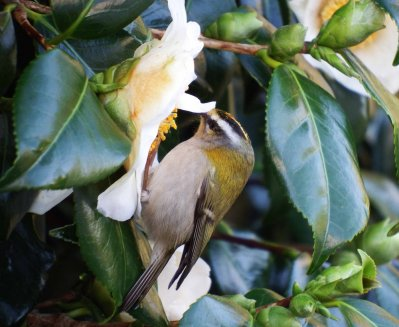 Firecrest 20.1.16 Berrynarbor Margaret Phillips