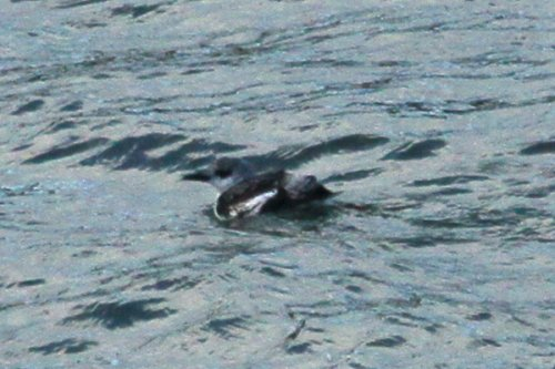 1st winter Black guillemot