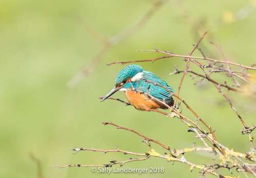 Kingfisher at Cockwood