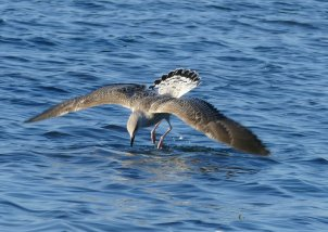 Yellow-legged Gull Broadsands 13 Jul 2016 ML