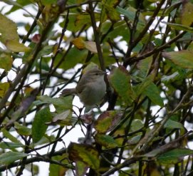 siberian Chiffchaffs Broadsands 20 Nov 2013 ML