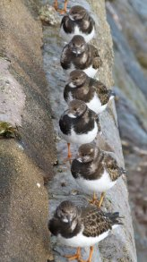turnstones Preston 31 Jan 2013 ML