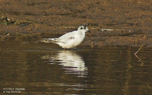 Little Gull - 9/7/2015 Topsham