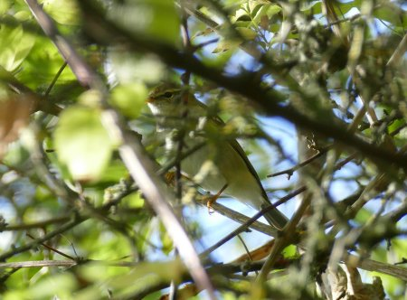 Yellow-browed Warbler Berry Hd 16 Oct 2016 ML