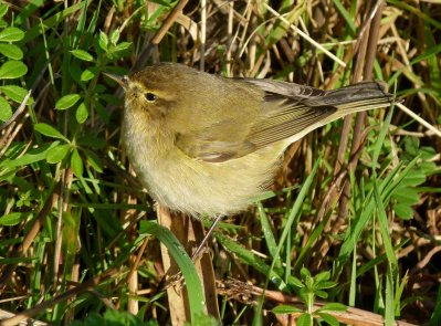chiffchaff collybita Broadsands 07 Dec 12 ML