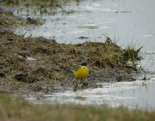 Interesting Yellow Wagtail