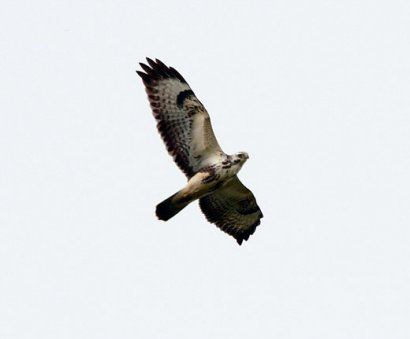 Very pale plumages that could be mistaken for an Osprey or Rough-legged Buzzard