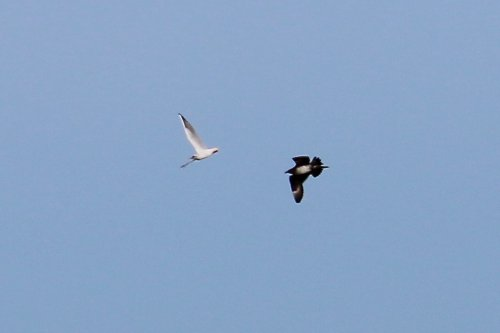 Arctic Skua chasing a Black-headed Gull with fish