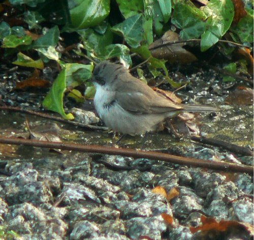 lesser whitethroat 22 Dec 13, Plymouth (1)