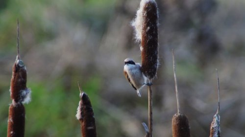 Penduline Tit at Darts Farm  2-1-2015  11:18hrs