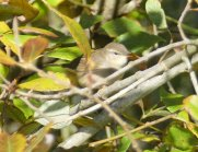 Dusky Warbler Clennon Lakes Nov 8th 2017 ML