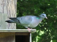 Stock Dove Stover