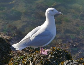 GlaucGulladBrixhn150214ML blog