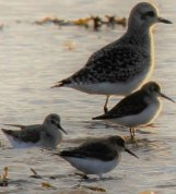 Dunlin and Plover