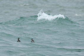 Black necked grebes - small birds in a big sea.