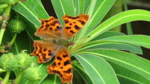 Comma on euphorbia