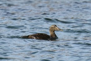 Eider, immature male