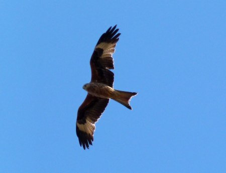 Red Kite Mansands 30 April 2013 ML