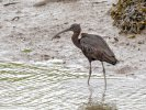 Glossy Ibis © Matt Hitchins, 11/9/2020, Fremington Pill