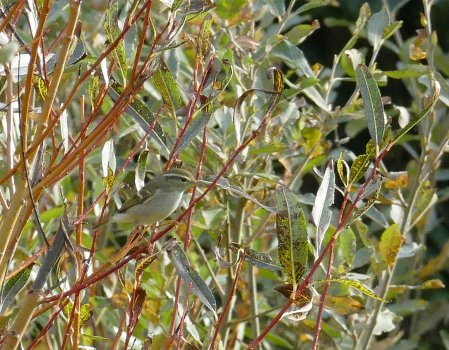 Yellow-browed Warbler Bolberry junction 21 Oct 2016 ML