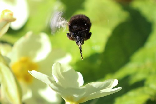 Hairy footed flower bee Anthophora plumipes