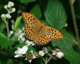 Silver-washed Fritillary (m)