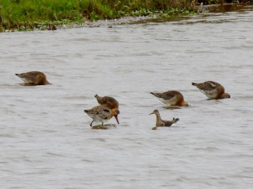 Ruff with Black-tailed Godwits