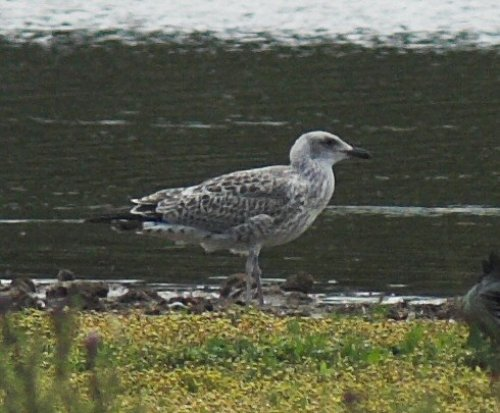 Yellow-legged Gull juv 7/7/2015 Topsham
