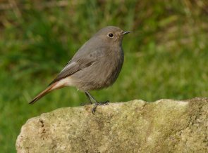 Black Redstart Clennon Valley 28 March 2013 ML