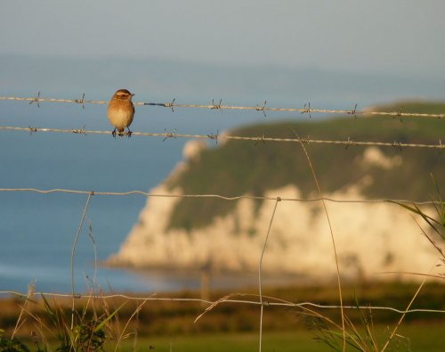 Whinchat Axe Cliff