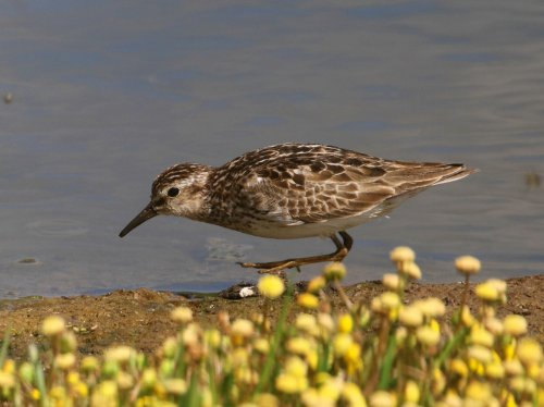 Least Sandpiper in worn summer plumage - note length of central toe