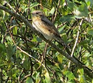 Wryneck, Shallowford, Exmoor, 21 Sep 2014