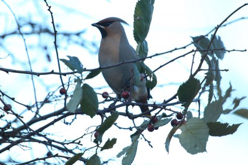 Waxwing feeding on Hawthorn