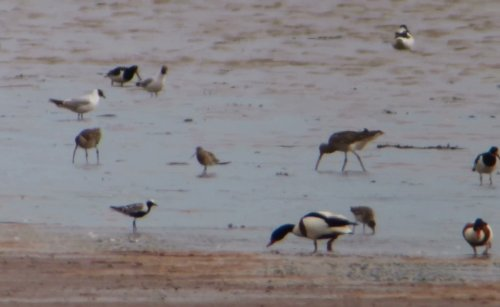 sp-Grey Plover from BGM Vewing Platform