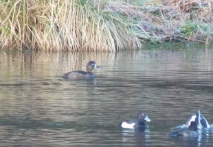 Ring-necked Duck Kennick Res 11 Feb 2013 b
