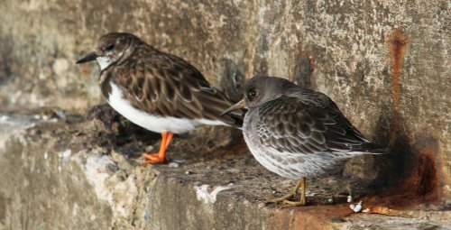 turnstone & Purple sandpiper