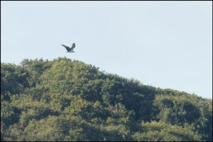 Osprey - Halwill Wood in background