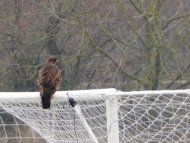 Goaltending Buzzard.