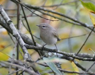Siberian Chiffchaff Clennon Valley 16Nov2015 ML