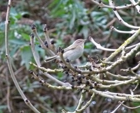 Siberian Chiffchaff Clennon Valley 7th Jan 2015 ML