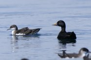 Manx Shearwater and Common Scoter