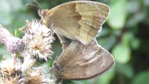 Mating meadow brown