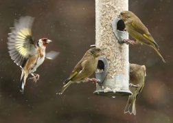 BTO ringed Goldfinch ~  Greenfinch