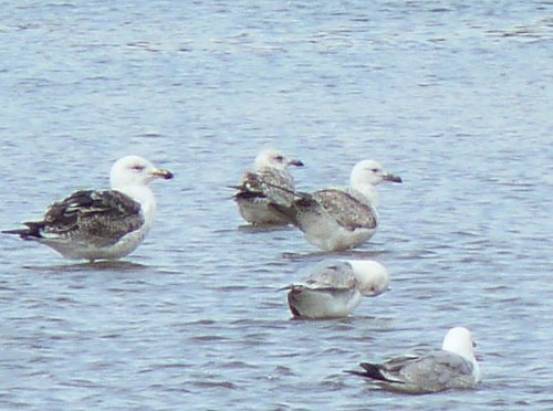 First-summer Caspian Gull
