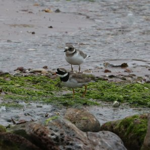 Ringed Plover Broadsands 02082016