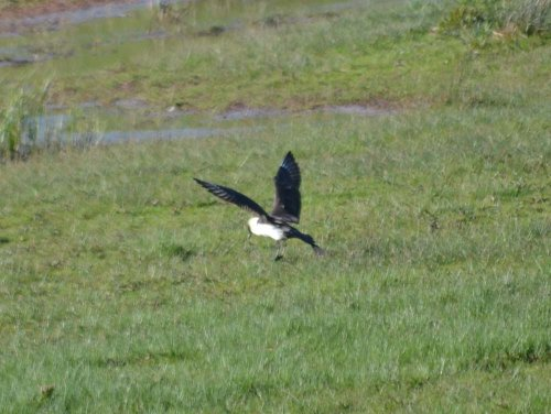 Pomerine Skua - South Huish Marsh - 18.5.2016