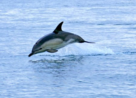 common Dolphin Lyme Bay 07 Aug15 ML